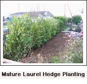 Click to view. Mature Laurel Hedge Planting