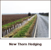 Click to view. New Thorn Hedging